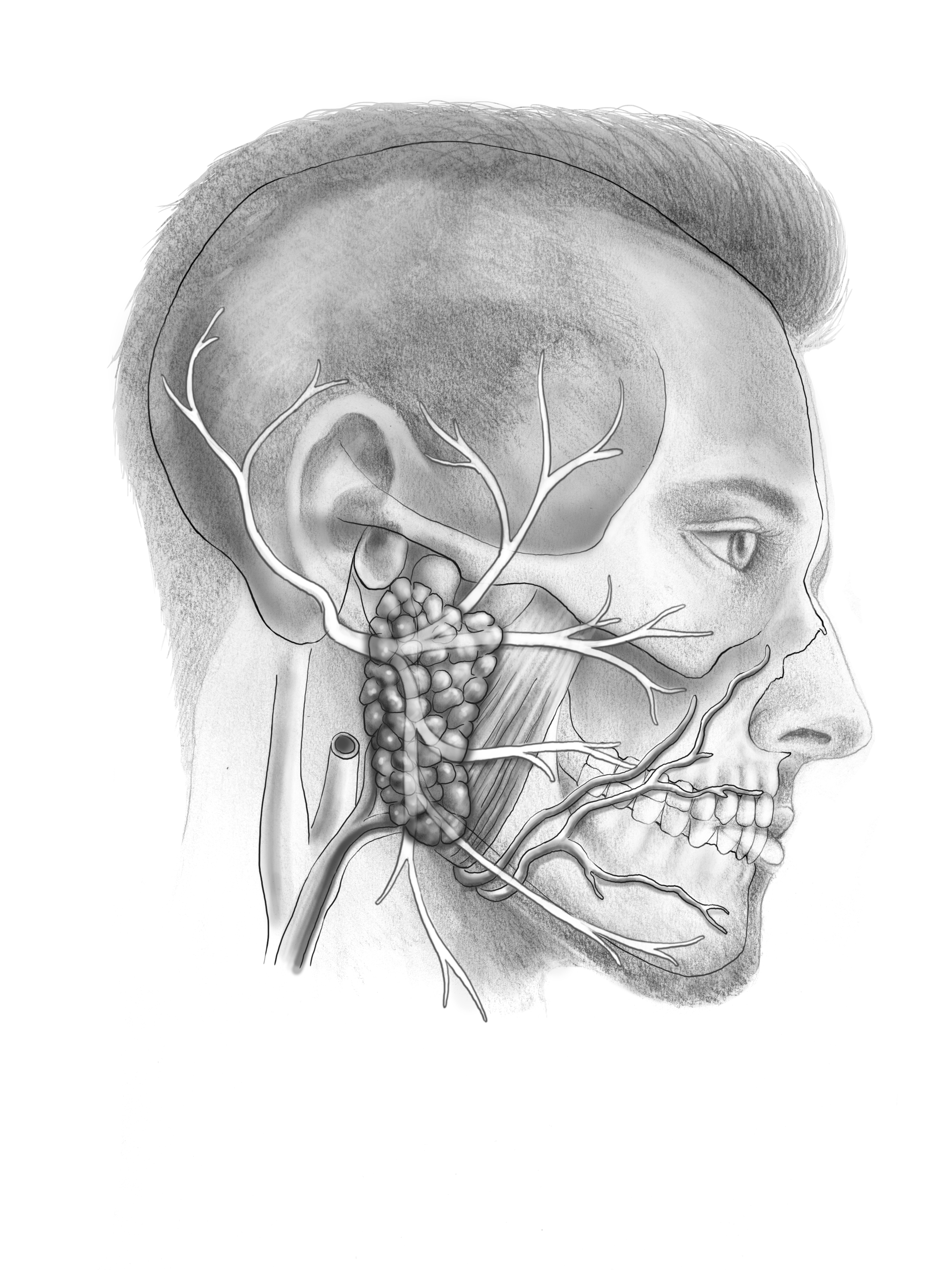 Facail Nerve Sketch 3