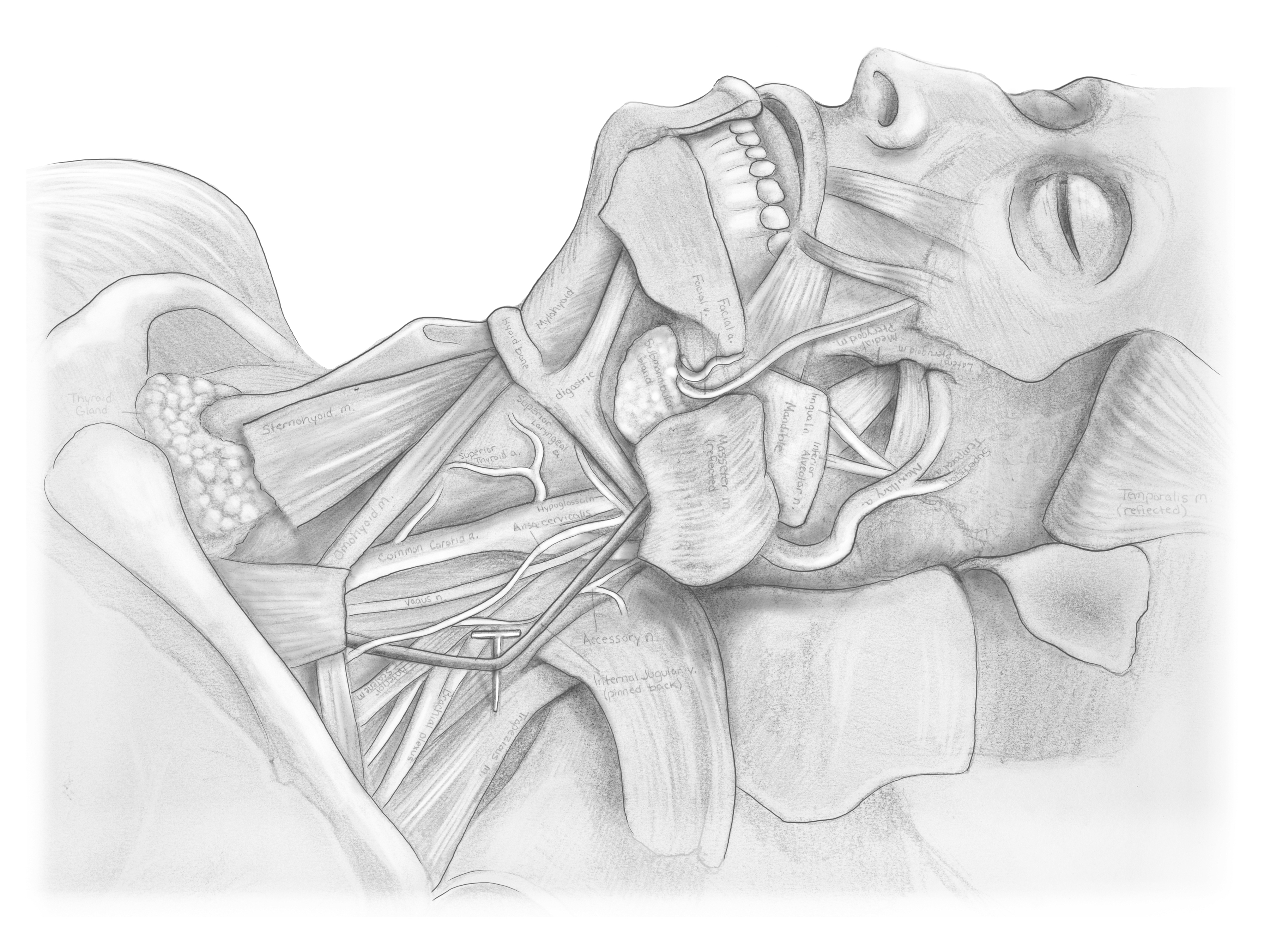 Face and Neck Anatomy1