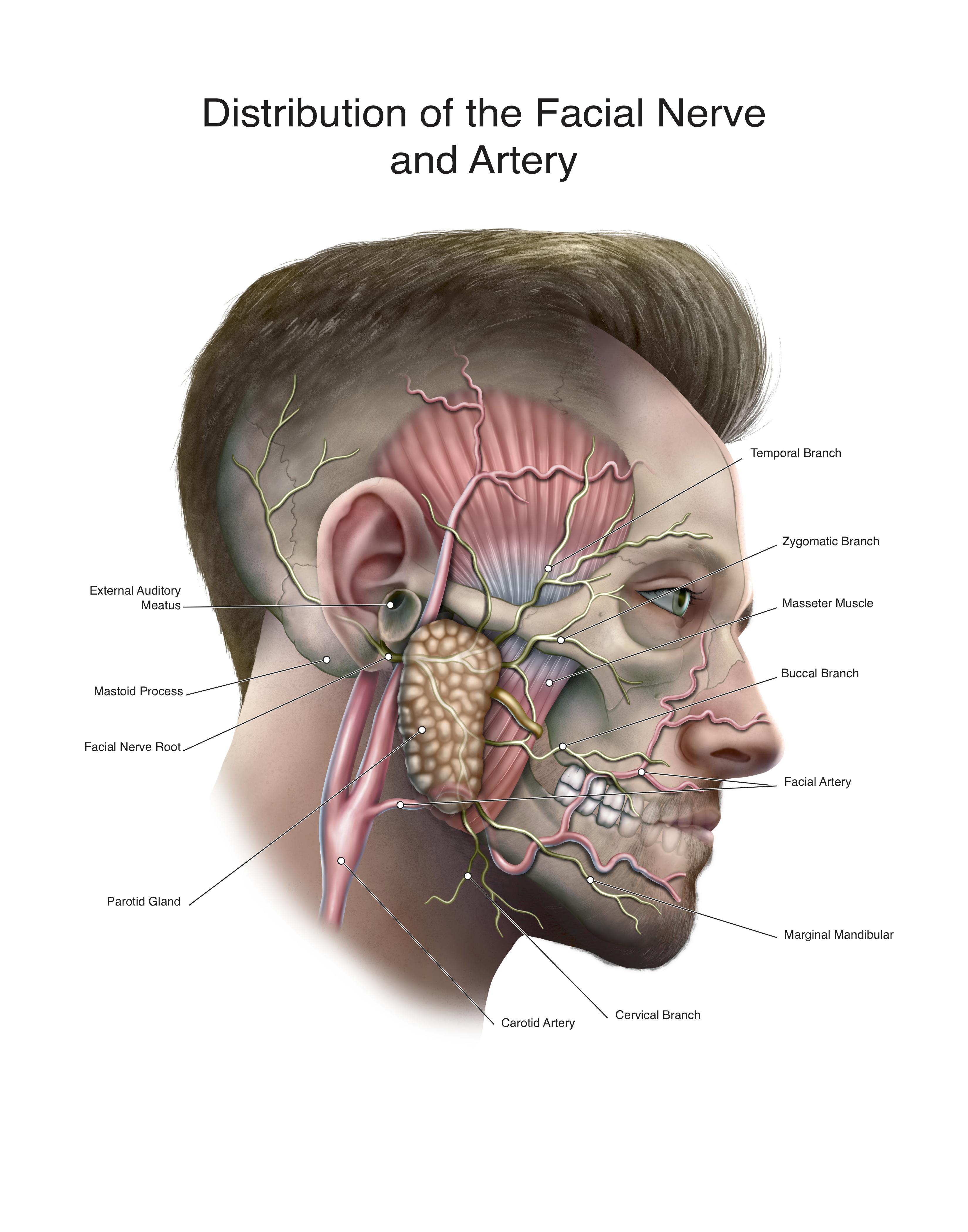 facial nerve L